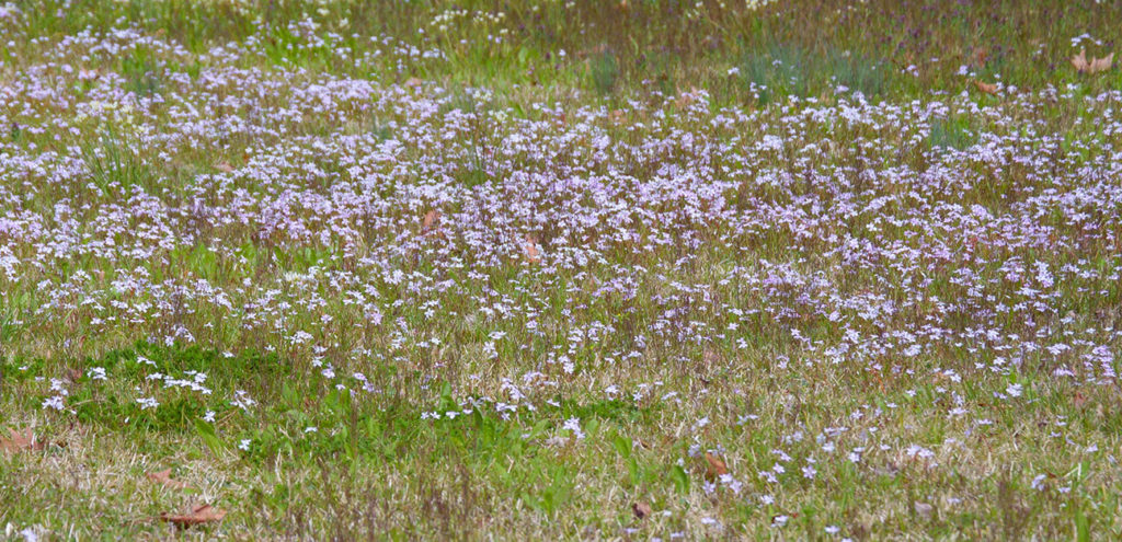 A field of spring beauties