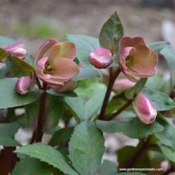 Helleborus sp (Lenten rose)