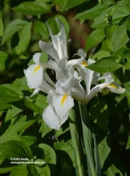 White flag iris