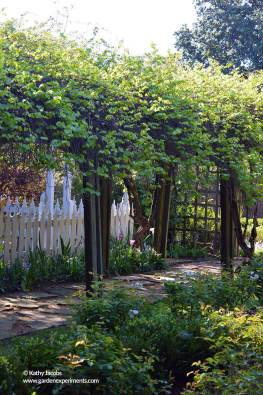Arbor with native grape vines