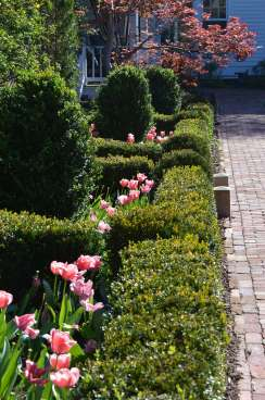 Boxwood English Style Garden with tulips