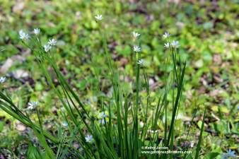 prairie-blue-eyed-clump