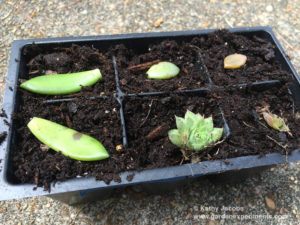 Place the succulent leaves flat on top of the soil surface