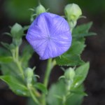 Balloon Flower in the Bud Stage