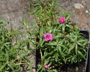 Moss Rose (Portulaca grandiflora)