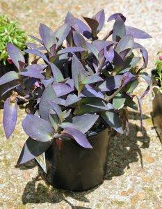 Purple Heart (Setcreasea pallida)