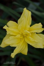 Yellow double day lily