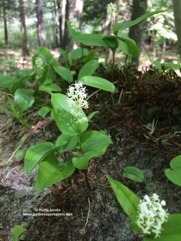 Wild Lily of the Valley (Maianthemum canadense)