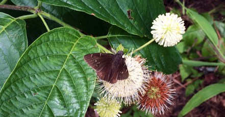 Buttonbush and skipper butterfly