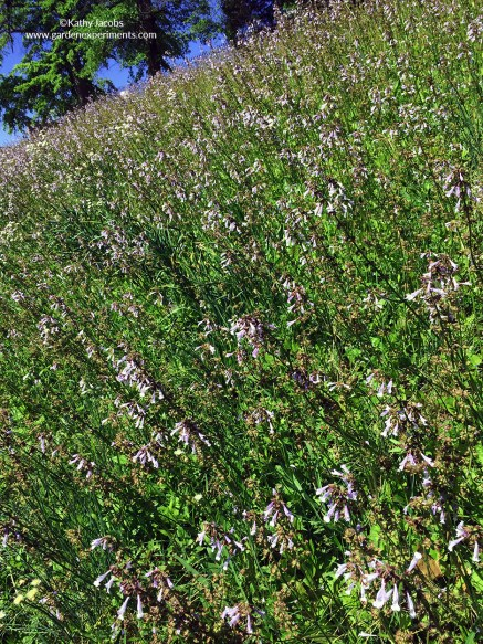 Lyreleaf sage plants covering a hillside