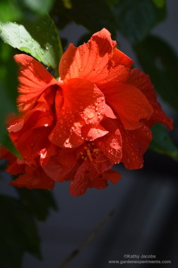hibiscus-rain