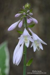 hosta-flower