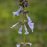 Lyreleaf sage (Salvia lyrata)