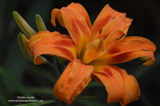 orange-daylily-double