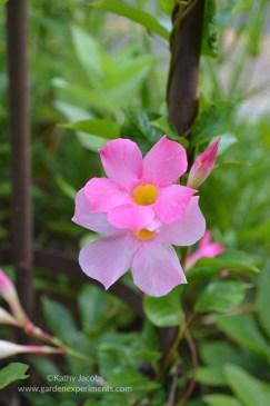 Mandevilla vine flower