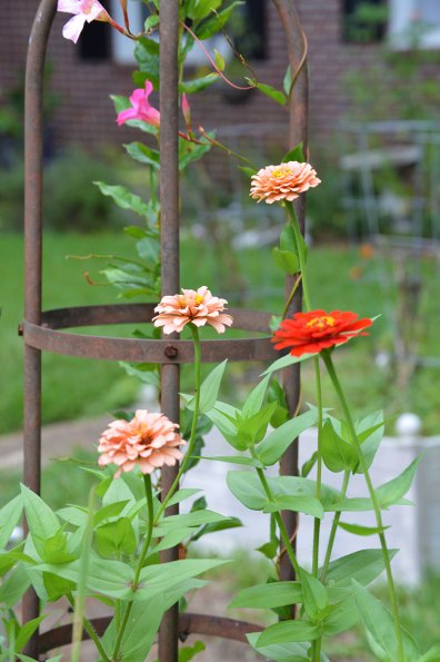 Zinnias and mandevilla with trellis