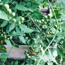 Sungold tomato plants