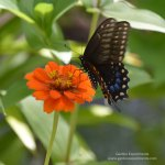 How to Attract and Feed Eastern Black Swallowtail Butterflies