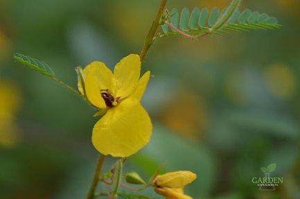 Partridge pea flower