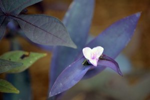 Purple heart with purple sweet potato vine