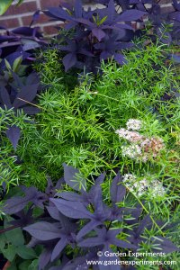 Purple sweet potato vine with asparagus fern