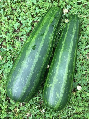 Hybrid green stripe zucchini