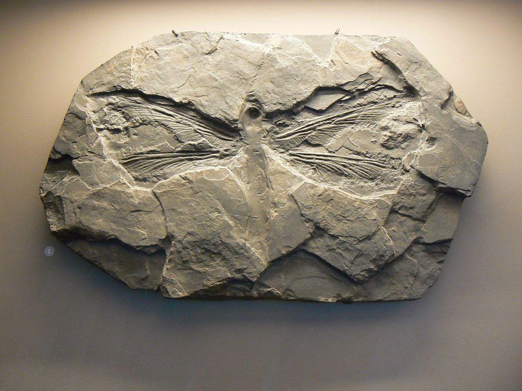 Meganeuradae fossil