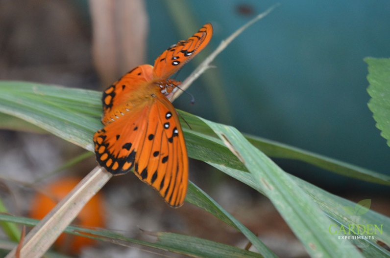 Gulf fritillary butterfly drying its wings