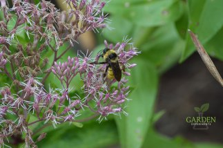 Bumble bee on joe pye weed
