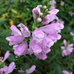 Obedient Plant – Physostegia virginiana
