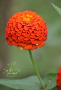 orange-zinnia-8-17