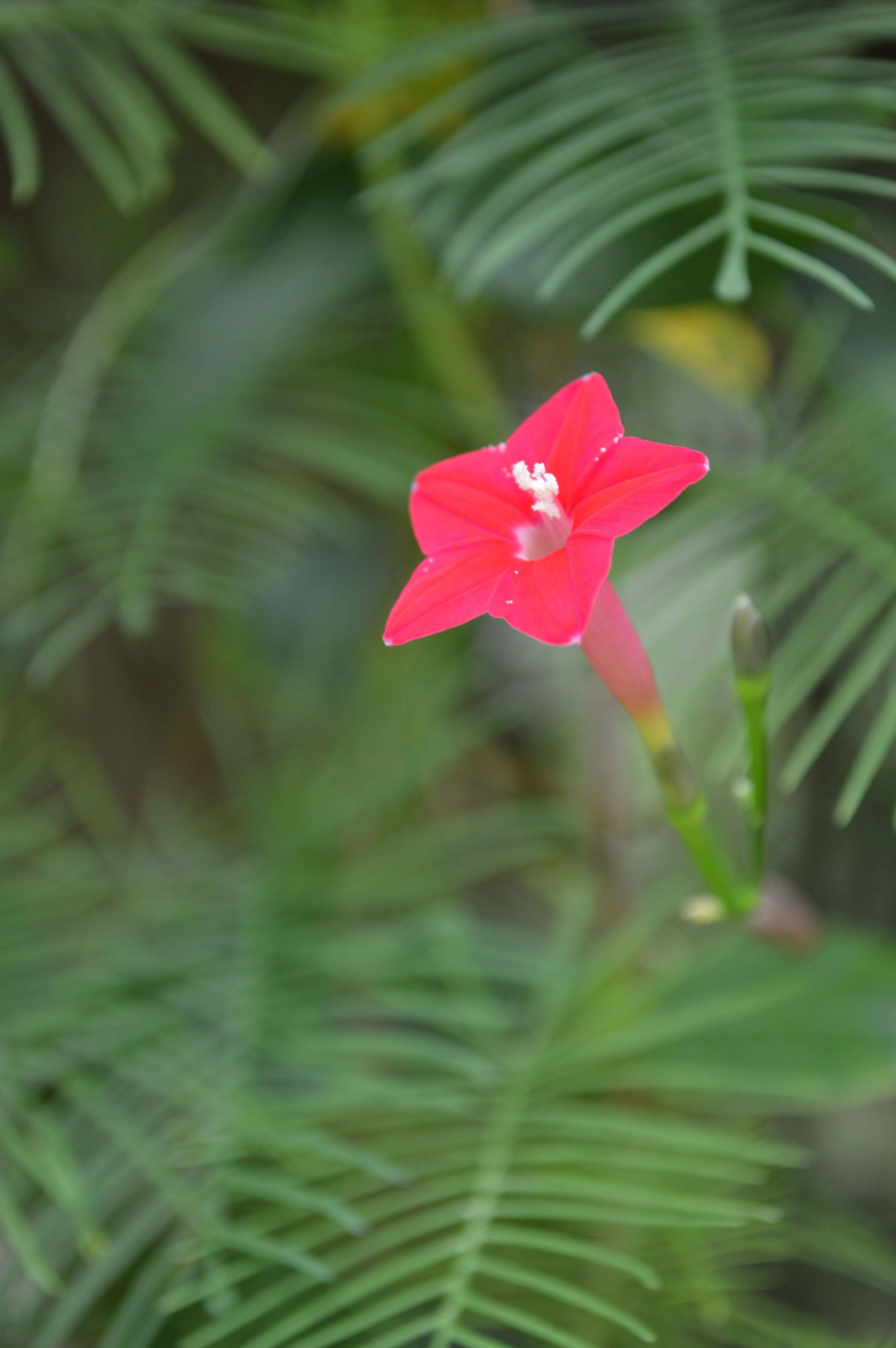 The Delicate But Aggressive Cypress Vine