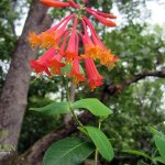 Coral Honeysuckle – Native Vine for Hummingbirds