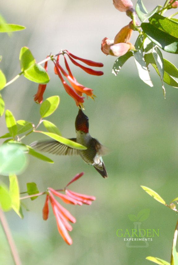 Ruby-throated hummingbird feeding on coral honeysuckle