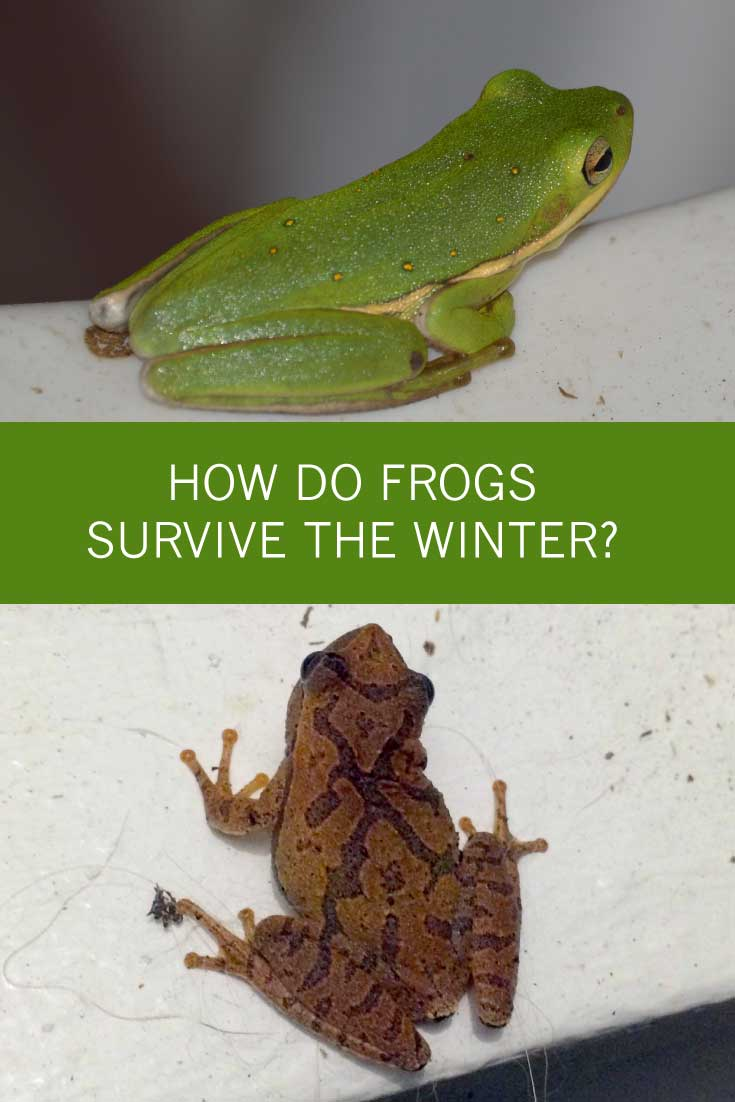 How do frogs survive the winter? -- Have you ever wondered what happens to frogs in your backyard? Being cold-blooded, frogs derive their body temp from the air. So, at 20 degrees, will they freeze and die?