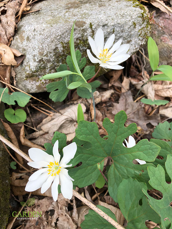 Early Spring Native Flowering Plants -- Choosing to incorporate native plants in to your garden is a great idea if you want hardy plants that can tolerate the local soil and weather conditions. Native plants are just that - perfectly adapted for the spot in which they naturally grow.