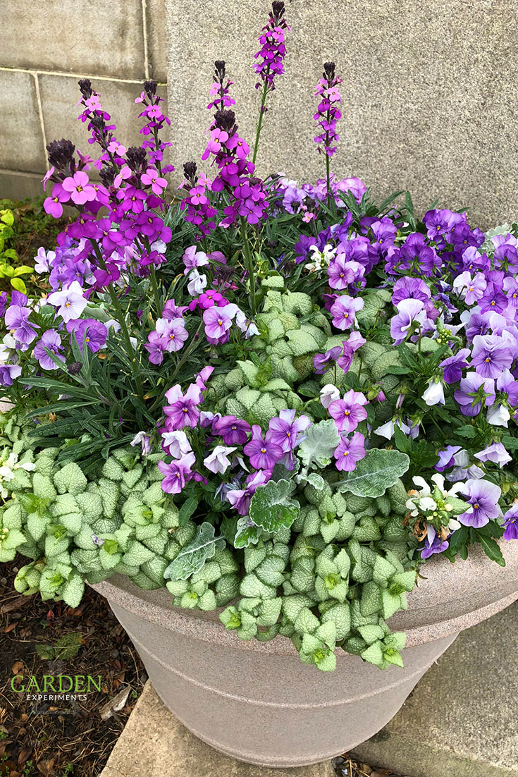 Purple and White Container Garden for Easter -- The plants in this purple and white themed container garden include wallflower, pansies, dusty miller, and lamium