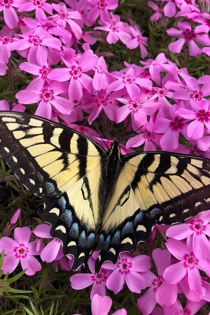 Plants that Flower in Early Spring for Eastern Tiger Swallowtail Butterflies -- Plant these flowering plants that bloom in early spring to attract the yellow and black-winged eastern tiger swallowtail butterflies to your garden.
