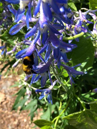 Bee on Delphinium