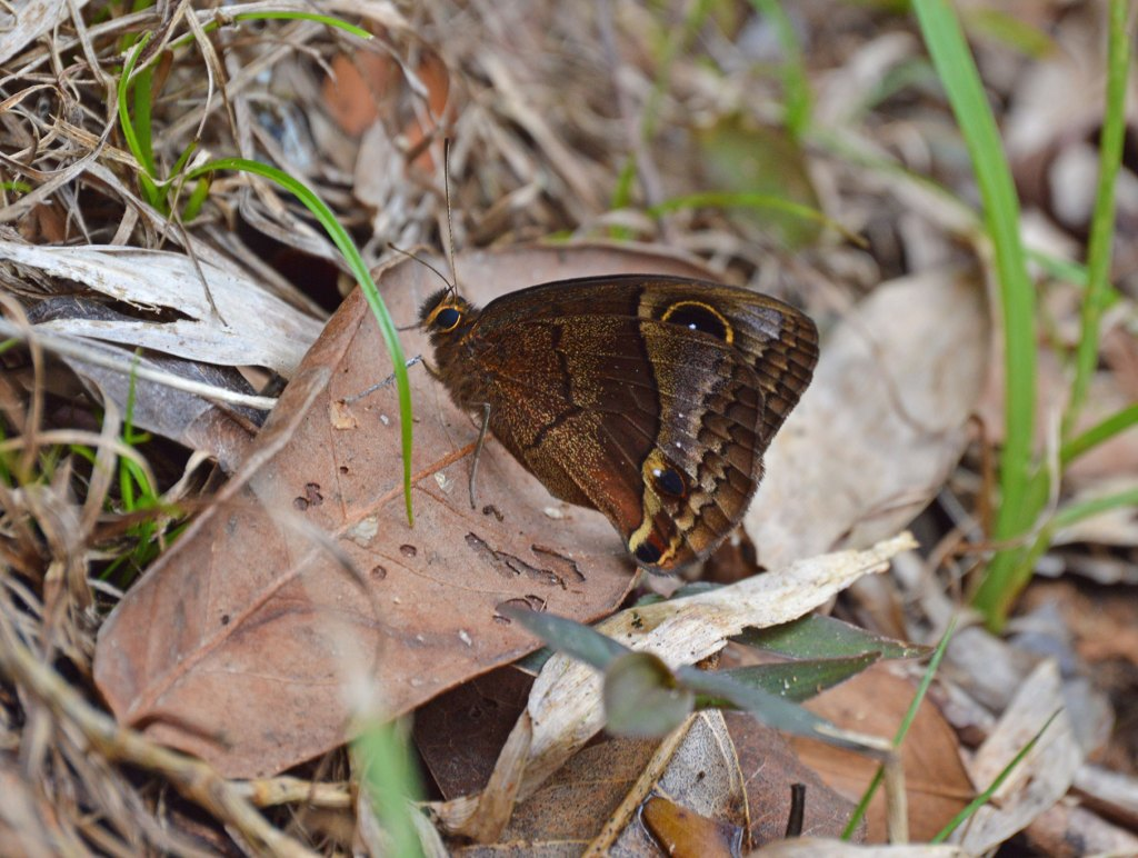 Puerto Rican butterfly with large eye spot