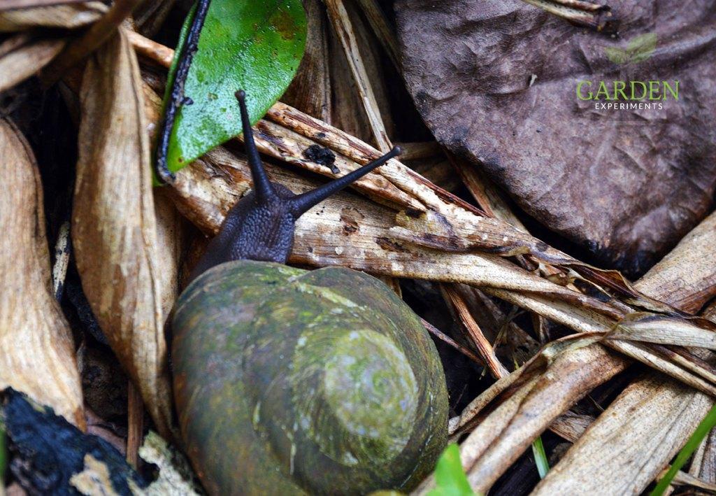 Puerto Rico snail