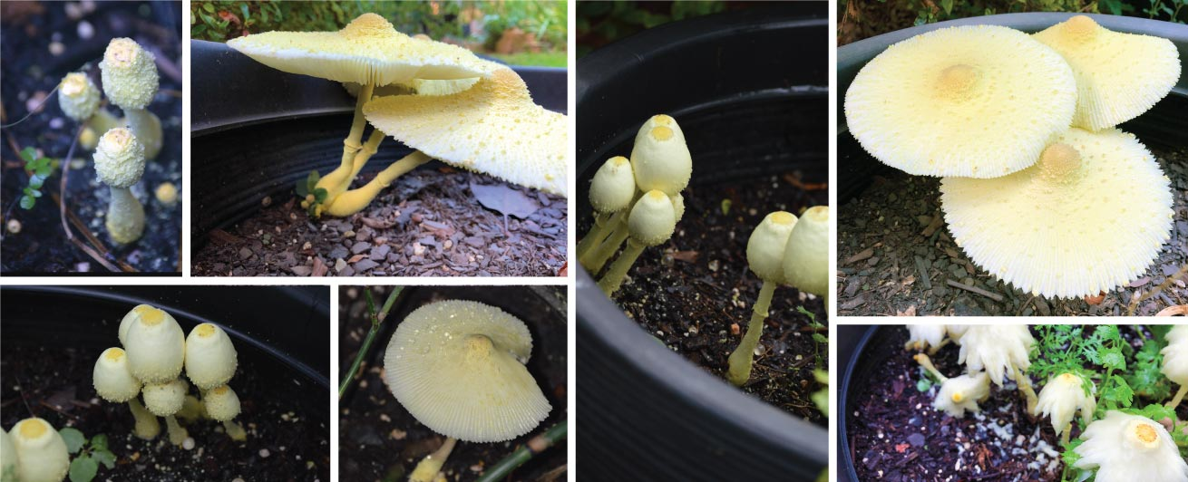 Yellow Houseplant Fungus (Leucocoprinus birnbaumii)