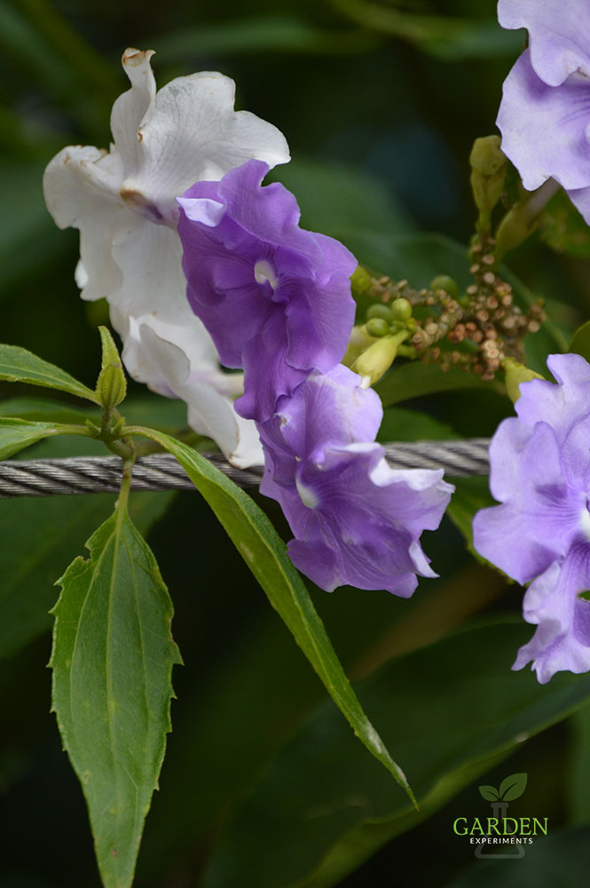 Purple and white flowers of a Brunfelsia plant