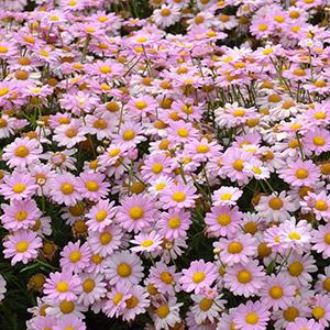 Argyranthemum Angelic Baby Pink Garden Express
