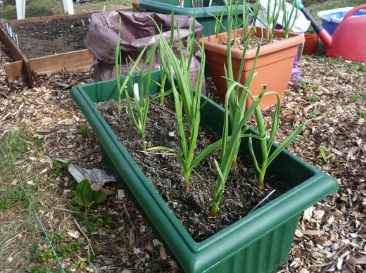 Expert Advice On Growing Garlic Gardenfocused Co Uk