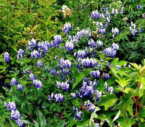 Aconitum x cammarum 'Bicolor'; by Robert Pavlis