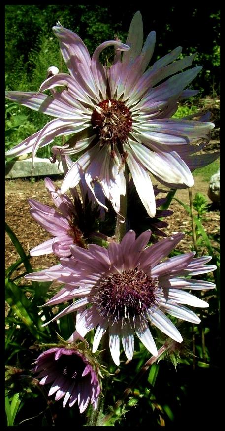 Berkheya purpurea by Robert Pavlis, planting zones