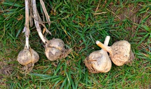 Growing garlic - leaving them too long