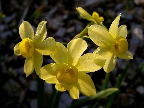 Spring bulbs - Daffodils