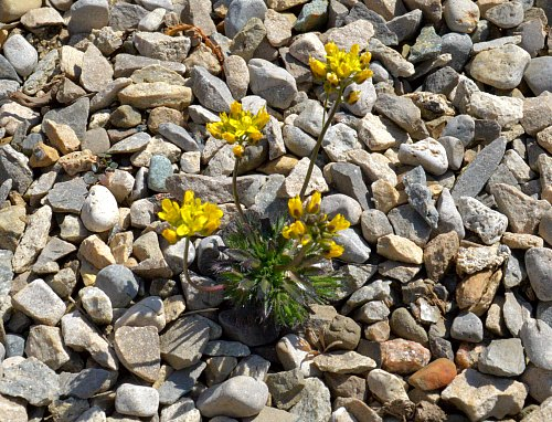 Draba korabensis, second year seedling mulched with 1/4 gravel, by Robert Pavlis